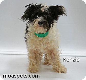 Shih Tzu/Terrier (Unknown Type, Small) Mix Dog for adoption in Waterbury, Connecticut - Kinzie