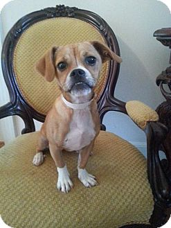 Pug/Chihuahua Mix Puppy for adoption in Edgewater, New Jersey - Zoe