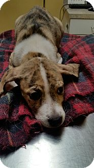 Boxer/Terrier (Unknown Type, Medium) Mix Puppy for adoption in Williamsburg, Virginia - Lilly