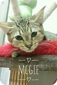 Domestic Shorthair Kitten for adoption in Kendallville, Indiana - McGee