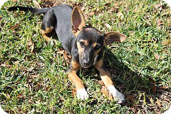 Miniature Pinscher Mix Dog for adoption in Atmore, Alabama - Ellie