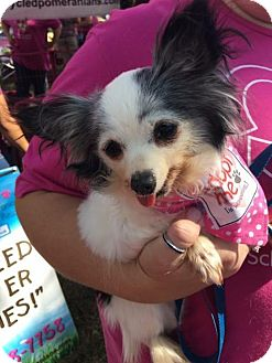Papillon Dog for adoption in Dallas, Texas - Delilah