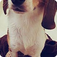 Beagle Mix Puppy for adoption in Baltimore, Maryland - Argos Adoption Pending Congrats Sparrow & Kurt!