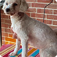 Poodle (Miniature) Dog for adoption in Del Rio, Texas - Mitzi