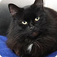 Domestic Longhair Cat for adoption in Marietta, Ohio - Lady Diana