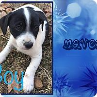 Adopt A Pet :: Maven - Ringwood, NJ