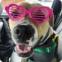 Labrador Retriever/Pit Bull Terrier Mix Dog for adoption in Cranston, Rhode Island - Truman