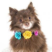 Adopt A Pet :: Delilah - St. Louis Park, MN