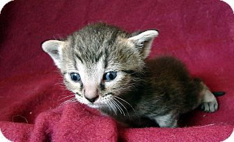 Domestic Shorthair Kitten for adoption in Florence, Kentucky - Sue Ellen
