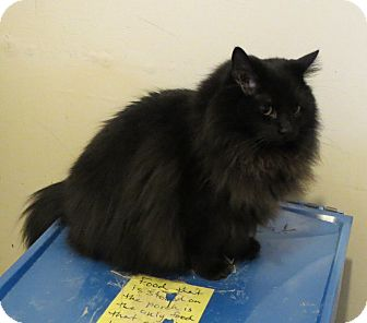Domestic Longhair Cat for adoption in Geneseo, Illinois - Licorice
