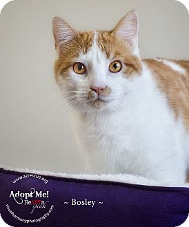 Domestic Shorthair Cat for adoption in Phoenix, Arizona - Bosley