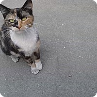 Calico Cat for adoption in Monrovia, California - Pebbles