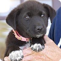 Adopt A Pet :: Faith - Hamburg, PA