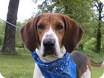 Treeing Walker Coonhound Mix Dog for adoption in Princeton, Kentucky - Hank