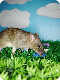 Rat for adoption in Welland, Ontario - Blue