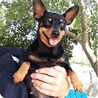 Miniature Pinscher Mix Dog for adoption in Temecula, California - Shasha
