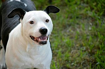 Staffordshire Bull Terrier Mix Dog for adoption in Tomball, Texas - Panda