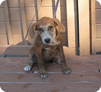 Labrador Retriever/Hound (Unknown Type) Mix Puppy for adoption in Oakland, Arkansas - Olive