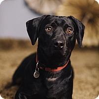 Adopt A Pet :: Sampson - Portland, OR