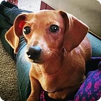 Dachshund Dog for adoption in Rochester, New York - Dandy
