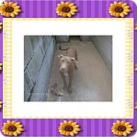 Adopt A Pet :: SCARLETT - KELLYVILLE, OK