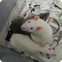 Adopt A Pet :: 3 BABY GIRLS - Philadelphia, PA