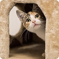 Calico Kitten for adoption in St. Paul, Minnesota - Pippa