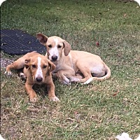 Labrador Retriever/Hound (Unknown Type) Mix Puppy for adoption in Wilwaukee, Wisconsin - A - Clinton OR Donald