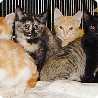 Adopt A Pet :: Feral kittens 10-16-16 - Dickson, TN