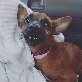Italian Greyhound/Chihuahua Mix Puppy for adoption in Phoenix, Arizona - Lane