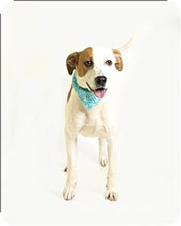 Foxhound/Pit Bull Terrier Mix Dog for adoption in Troy, Virginia - Ozzy