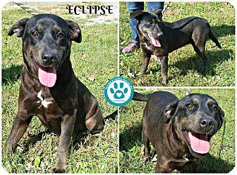 Labrador Retriever Mix Dog for adoption in Kimberton, Pennsylvania - Eclipse