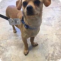 Adopt A Pet :: Dutch - Kansas City, MO