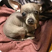 Adopt A Pet :: Veruca Salt - Redmond, WA