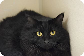 Domestic Longhair Cat for adoption in Pottsville, Pennsylvania - The Black