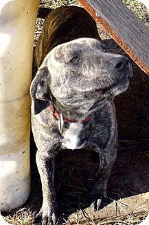 Labrador Retriever/Pit Bull Terrier Mix Dog for adoption in Moulton, Alabama - Jason
