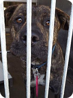Hound (Unknown Type)/Staffordshire Bull Terrier Mix Dog for adoption in San Diego, California - Lady Bella URGENT