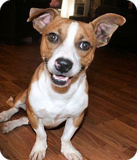 Nate   Adopted Dog   679   Huntsville, AL   Jack Russell ...