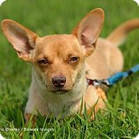 Adopt A Pet :: Lily - Dacula, GA