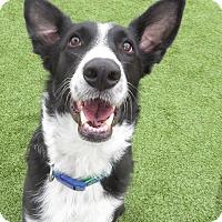 Adopt A Pet :: Harvey - Meridian, ID