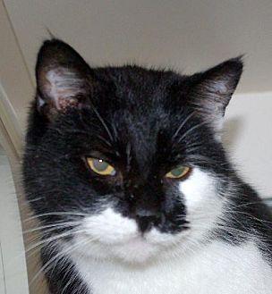 Domestic Shorthair Cat for adoption in Longview, Washington - Samoo