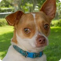 Adopt A Pet :: Chico - Sarasota, FL