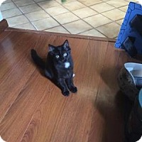 Domestic Mediumhair Cat for adoption in Stahlstown, Pennsylvania - Puffy