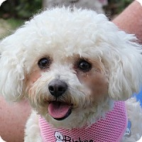 Adopt A Pet :: Georgie Girl - La Costa, CA