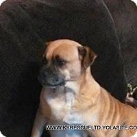 Pug/Cattle Dog Mix Dog for adoption in PRINCETON, Kentucky - Queenie-1