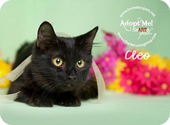 Domestic Shorthair Cat for adoption in Houston, Texas - Cleo