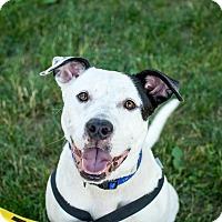 Adopt A Pet :: Petey~meet me~new pics! - Glastonbury, CT