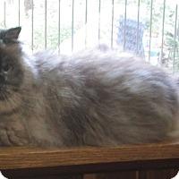 Adopt A Pet :: Heaven (Himalayan Persian) - Witter, AR