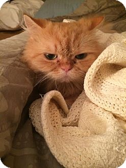 Persian Cat for adoption in DFW Metroplex, Texas - Andre