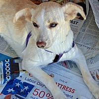 Chihuahua Mix Puppy for adoption in San Diego, California - Weda